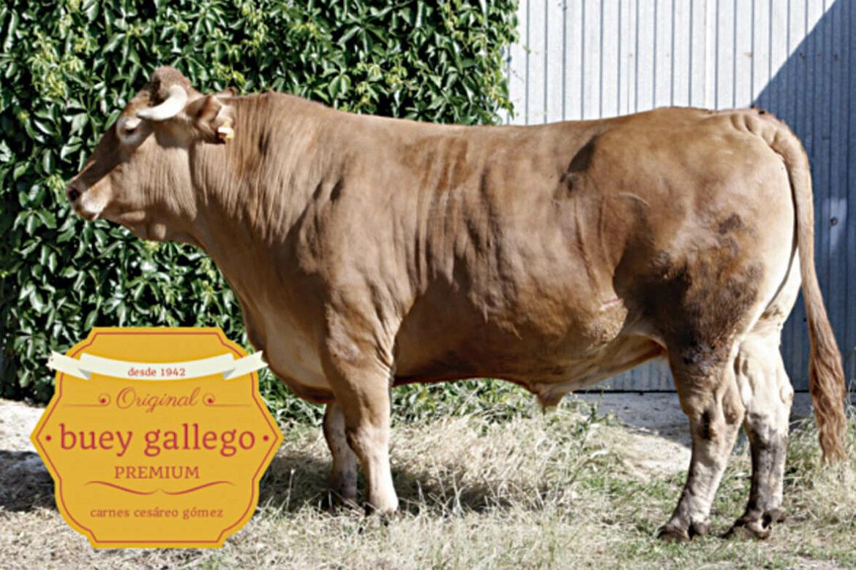 vaca-gallega